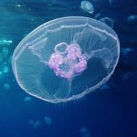 Jellyfish Species -- Box Jellyfish, Deepstaria Enigmatica, Praya Dubia, Lion's Mane Jellyfish, Marrus Orthocanna, Man O' War, Tima Formosa, Crossota, & Unidentified