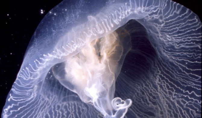 Deep sea angel jellyfish