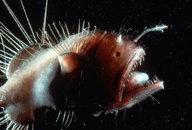 Angler fish weird
