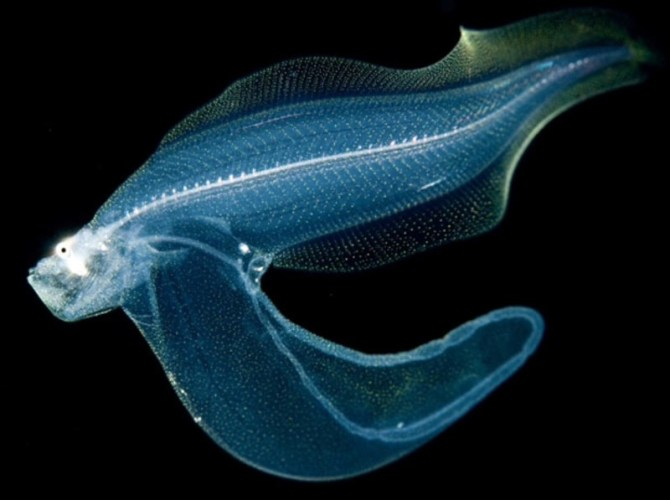 Transparent deep sea fish