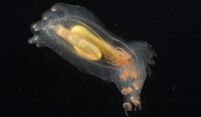 See through jellyfish deep sea