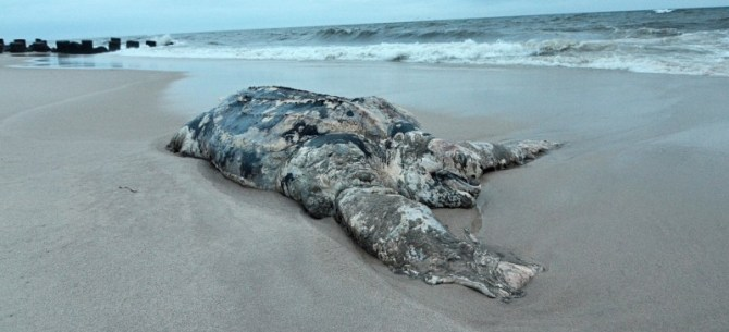 Giant Leatherback Sea Turtle Dead