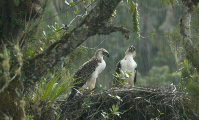 Philippine eagle Nest pair