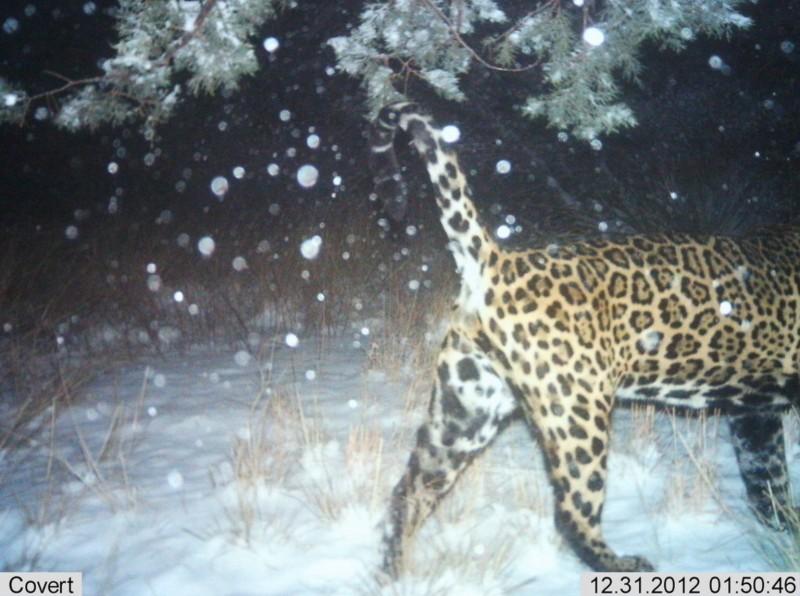 Jaguar Arizona Camera Trap