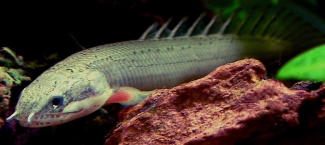 Senegal Bichir dragonfish