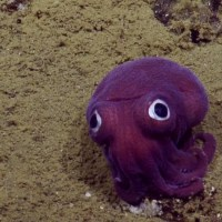 Googly Eyed Stubby Squid -- Facts, Video, & Photos