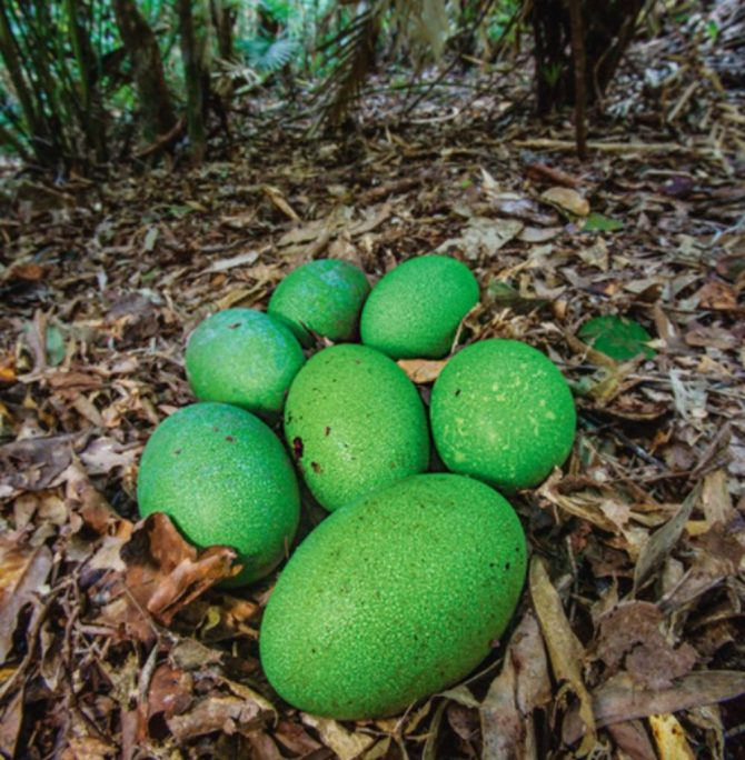 Southern cassowary green eggs