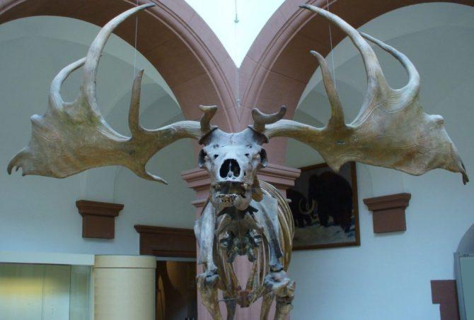 Giant Elk skeleton and Antlers