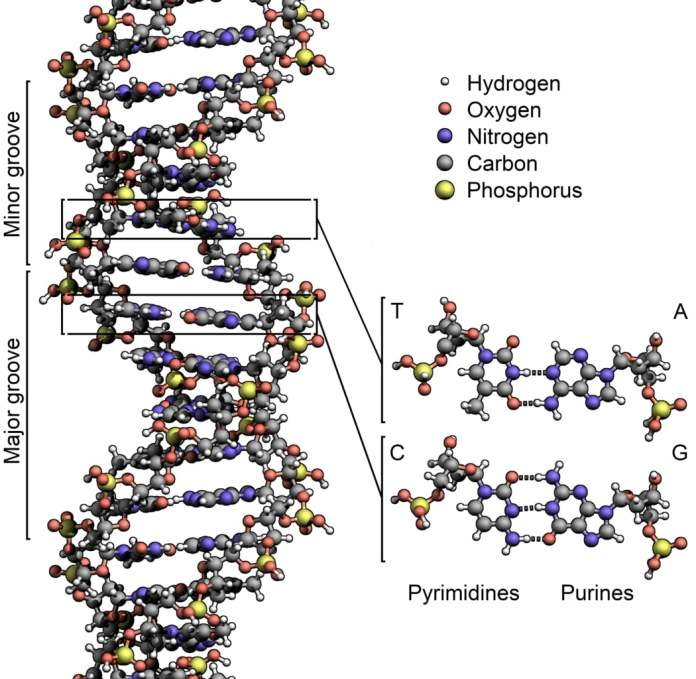 New evidence of forces responsible for separation of DNA discovered