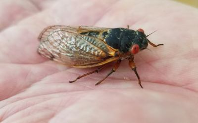 Brood X Cicadas – May 19, 2021