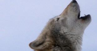vlk, autor: retron, zdroj: wikipedia, upraveno. licence obrázku: public domain