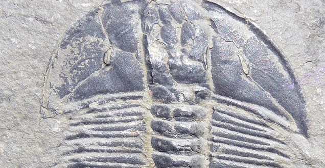 trilobit, Mark A. Wilson (Department of Geology, The College of Wooster), zdroj: Wikipedia, licence obrázku public domain