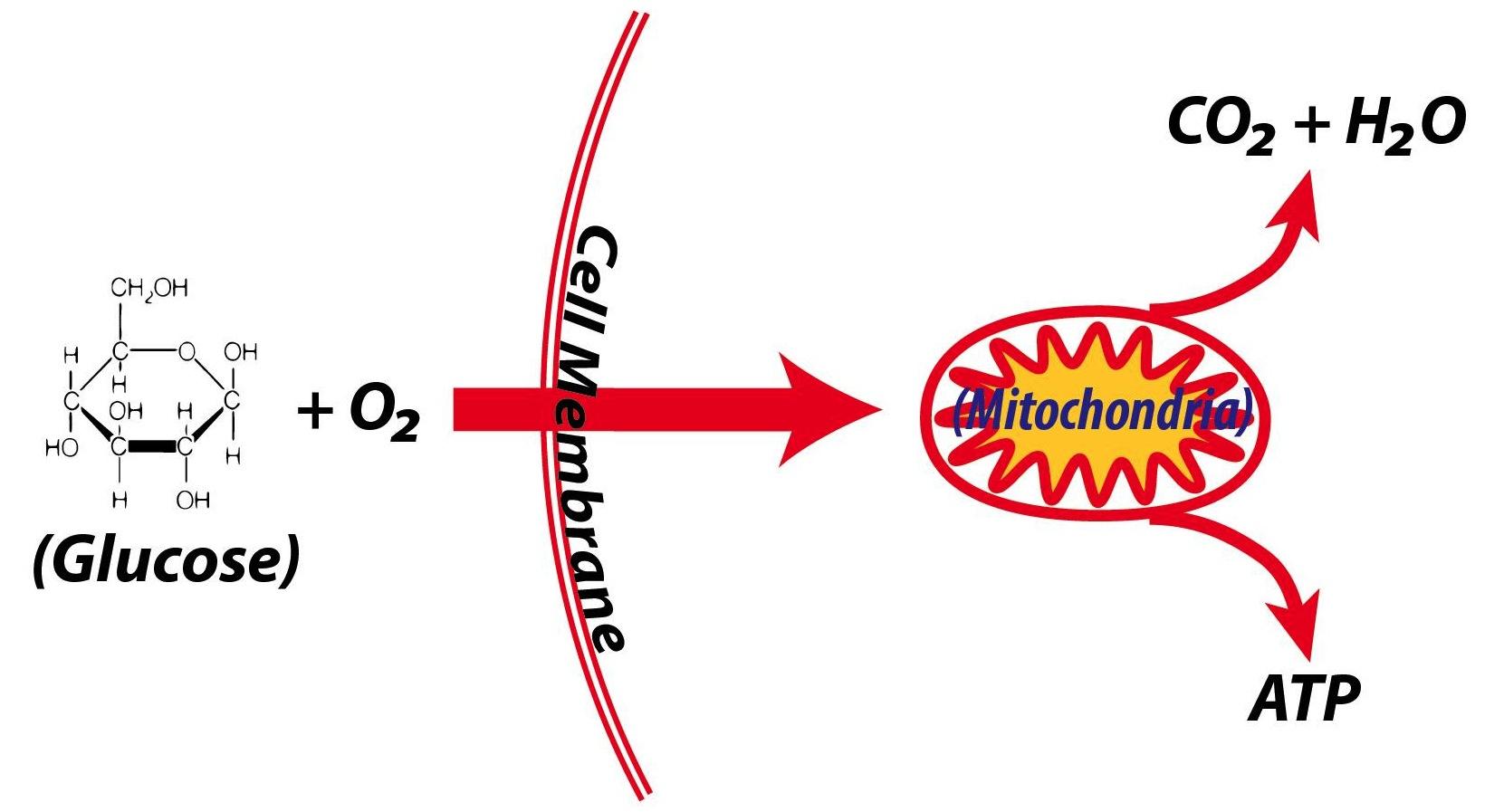 Cells Make Atp Through Cellular Respiration