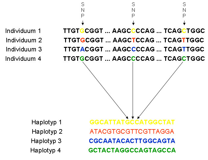 Haplotypes-conatining-tag-snps