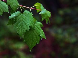 transpiration-from-leaves