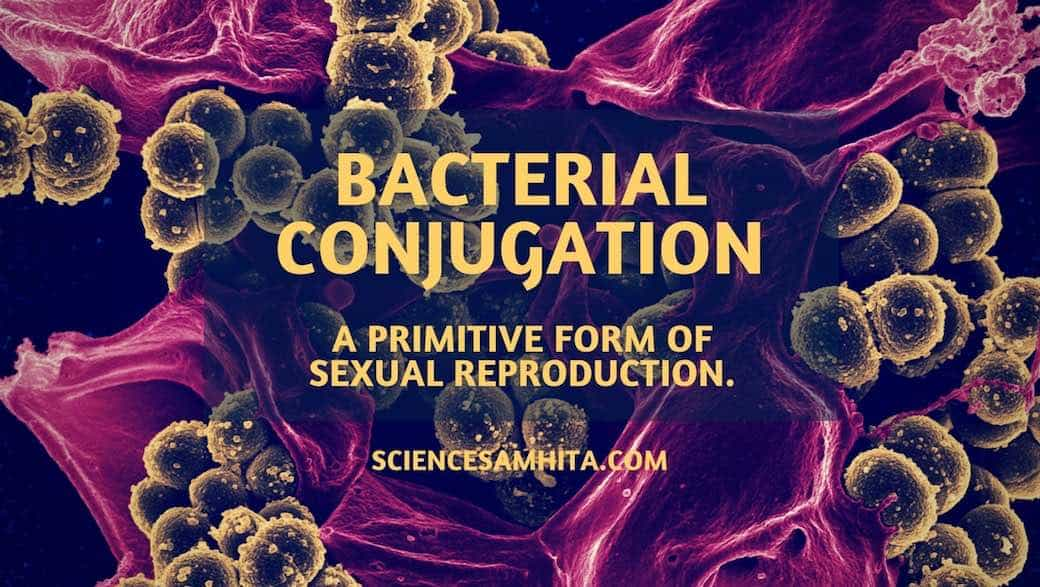 Bacterial Conjugation - A Primitive form of Sexual Reproduction.