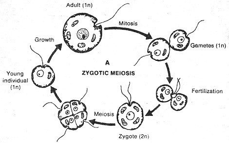 zygotic-meiosis