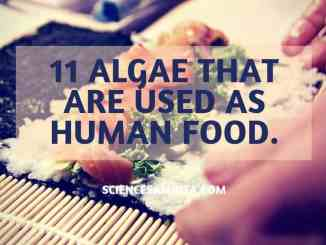 algae_as_food