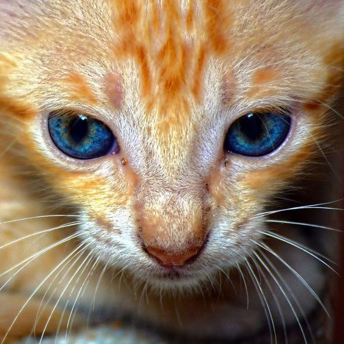 indian-cat