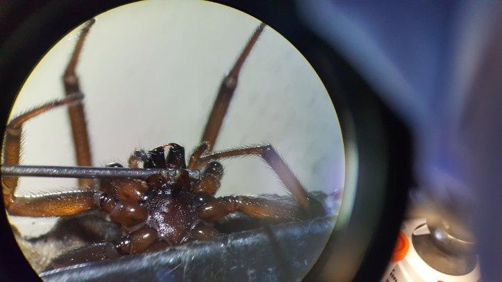 False widow spider Steatoda nobilis