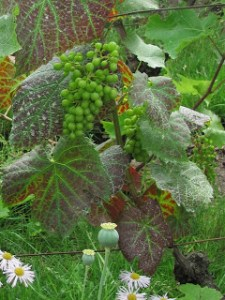 Photographs of grapes on the vine in Montmartre, Paris