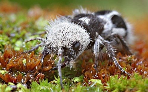 Mystery Creature revealed – the Panda Ant