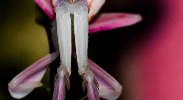 Mystery Creature revealed – the Orchid Mantis