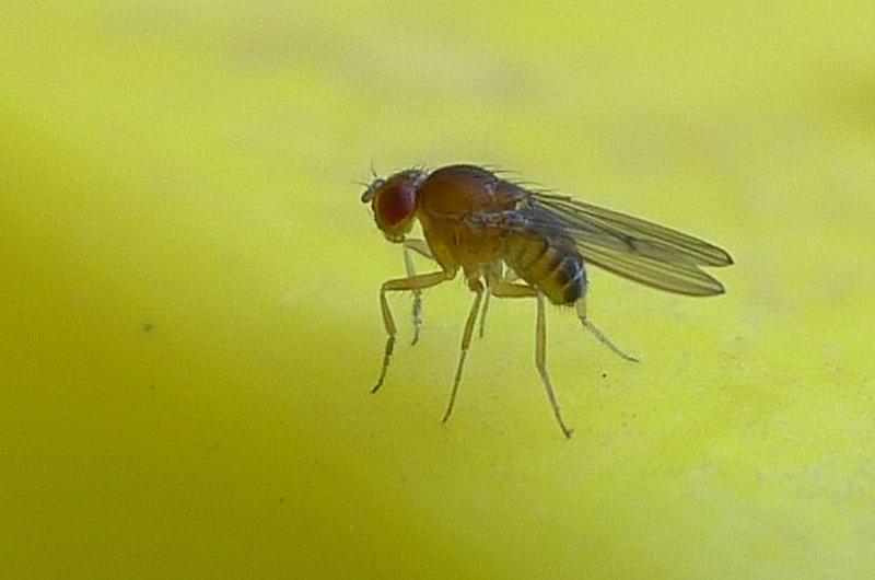 Fruit_fly_sized