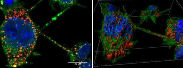 Tunneling nanotubes between neurons