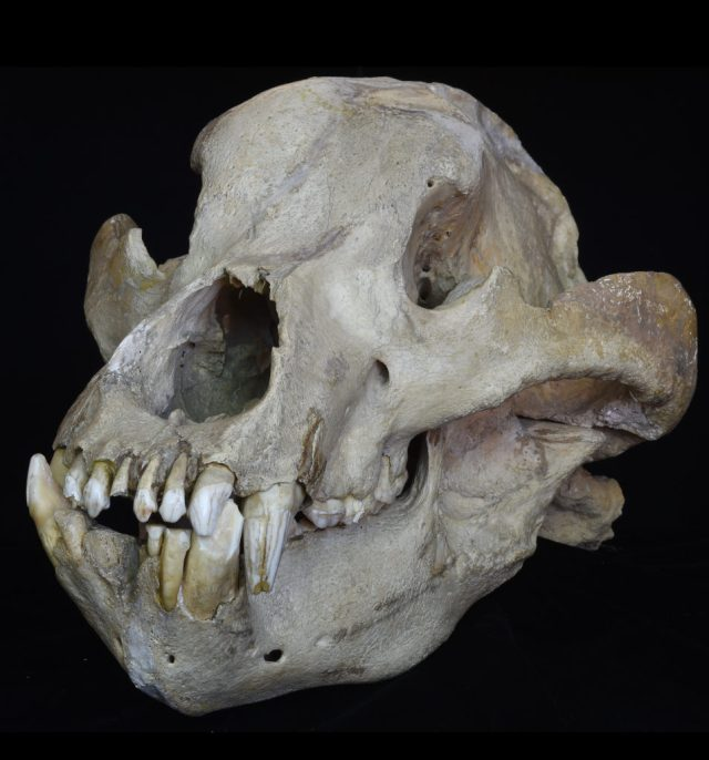 Skull of an extinct cave bear, Ursus spelaeus, from the Pleistocene [locality unknown]. © Collection of Senckenberg Rcredit: esearch Institute and Natural History Museum, Frankfurt, Germany (collection number SMF M 8047), photo: Sven Tränkner