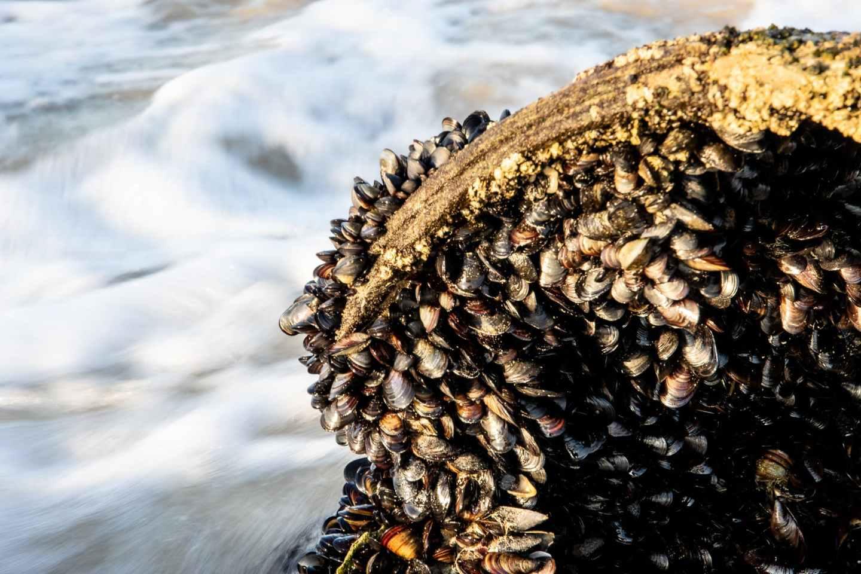 fresh mussels on rock