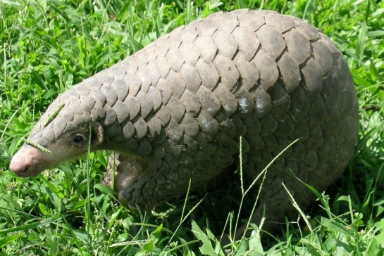 A photograph of an adorable pangolin, the most trafficked animal in the world. According to the International Union for Conservation of Nature (IUCN), more than a million pangolins were poached in the decade prior to 2014.