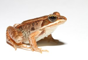 Lithobates_sylvaticus_(Woodfrog)