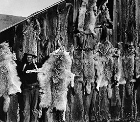 Wolf extermination was sanctioned by the US Government in the early 20th Century. Photo source: https://www.pbs.org/wnet/nature/the-wolf-that-changed-america-wolf-wars-americas-campaign-to-eradicate-the-wolf/4312/.