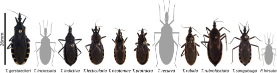 Kissing bug species that occur in the United States. From Bern et al. 2011.