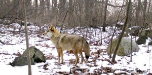 Coyote in Pelham Bay Park. Photo credit: Gotham Coyote Project.
