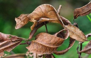 A chameleon mimicking a leaf (Photo credit:https://www.moillusions.com/camouflaged-chameleon-optical-illusion/).