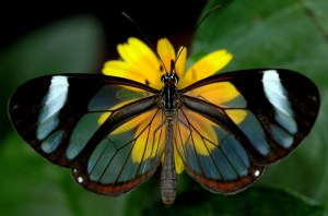 The aptly named clearwing butterfly (Photo credit:https://www.rockcostarica.com/lake-arenal/gallery/clearwing-butterfly/).