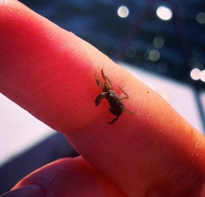 A tiny crab. One of hundreds that fall out from their nurseries among the oysters.