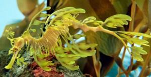 A leafy sea dragon (Photo credit:https://en.wikipedia.org/wiki/Leafy_seadragon).