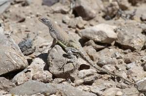 The earless desert lizard (Photo credit: https://imagict.com/en/words/earless+lizard).