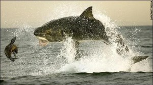 A great white shark hunts a seal (Photo credit:https://officetoocean.blogspot.com/2010_09_01_archive.html).