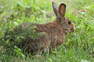 "The snowshoe hare (Lepus americanus) in summer (Photo credit:""Lepus americanus 5459 cropped"" by Lepus_americanus_5459.JPG: Walter Siegmund (talk)derivative work: Wsiegmund - This file was derived from: Lepus americanus 5459.JPG:. Licensed under CC BY-SA 3.0 via Wikimedia Commons - https://commons.wikimedia.org/wiki/File:Lepus_americanus_5459_cropped.jpg#/media/File:Lepus_americanus_5459_cropped.jpg)"