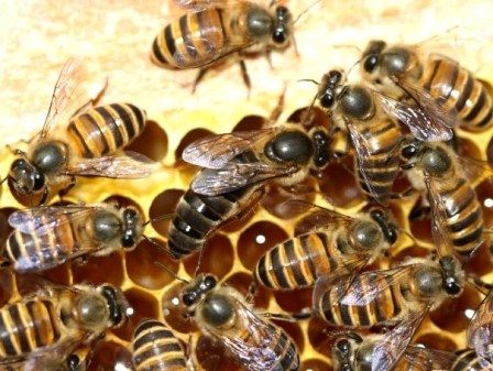 The largest honey bee is the queen of this particular species, Apis cerana, pictured here on some honeycomb. From: https://upload.wikimedia.org/wikipedia/commons/f/fb/Apis_cerana_queen_2010-04-30-_027.jpg