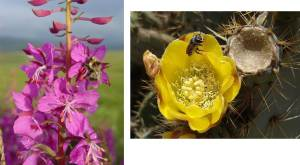 (arctic bumblebee Bombus polaris:https://www.adfg.alaska.gov/index.cfm?adfg=wildlifenews.view_article&articles_id=558; Photo credit: Johnk Bokma@ https://johnbokma.com/mexit/2006/05/07/yellow-cactus-flower-el-limon-totalco-3.html