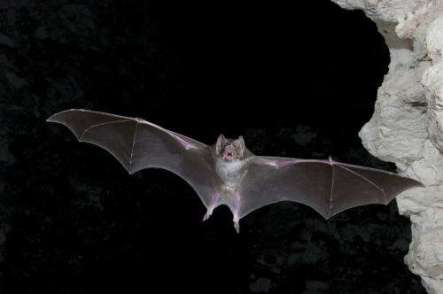 A vampire bat in flight. They may trigger fear in many of us, but scientists see a warmer side to these fuzzy and highly social mammals. Credit: pys.org/Brock Fenton