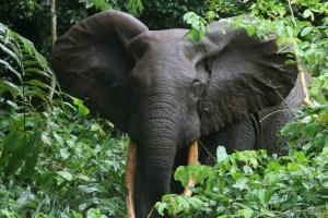 forest-elephant-congo