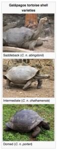 tortoise shells