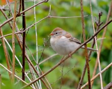 field sparrow DSCN0962