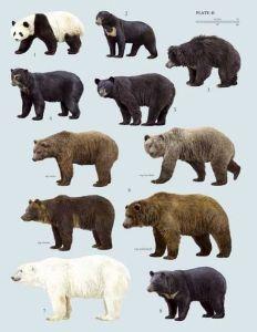 Bear species poster. Image credit:https://www.facebook.com/Understanding.Bears